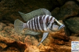 Altolamprologus Calvus Black Sumbu photo