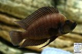 Altolamprologus Compressiceps Black Nangu photo