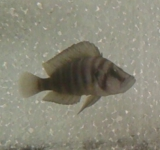 Altolamprologus Compressiceps Mutondwe photo
