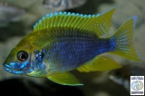 Aulonocara Jacobfreibergi Mamelela Lemon Jake photo