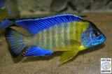 Aulonocara Stuartgranti Blue Neon Undu Reef