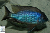 Copadichromis Atripinnis Chiofu Bay photo