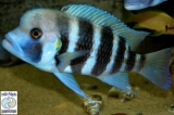 Cyphotilapia Frontosa Kigoma 7 Stripes photo