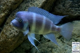 Cyphotilapia Gibberosa Blue Bismark photo