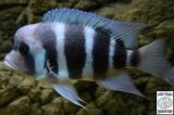 Cyphotilapia Gibberosa Blue Kipili photo