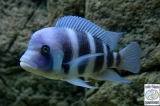 Cyphotilapia Gibberosa Blue Mpimbwe photo