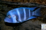 Cyphotilapia Gibberosa Blue Samazi photo