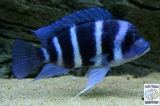 Cyphotilapia Gibberosa Blue Zaire Moba photo