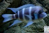 Cyphotilapia Gibberosa Blue Zambia photo