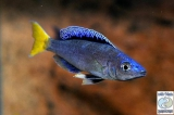 Cyprichromis Leptosoma Blue Flash Mpulungu photo