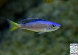 Cyprichromis Leptosoma Blue Tanzania photo