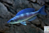 Cyprichromis Leptosoma Kerenge Bay photo