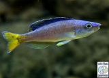 Cyprichromis Leptosoma Utinta Fluorescent photo