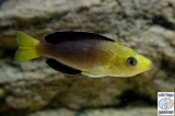 Cyprichromis Leptosoma Yellow Head Kipili photo