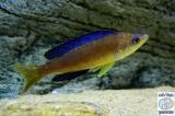 Cyprichromis Microlapidotus Karilani photo