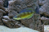 Cyprichromis Zonatus photo