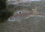 Ectodus Descampsii photo