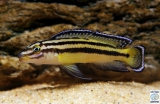 Julidochromis Regani Kipili photo