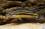 Julidochromis Regani Kipili photo