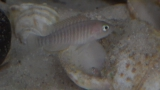 Lamprologus Multifasciatus photo