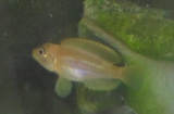 Lamprologus Ocellatus Gold photo