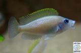 Neolamprologus Caudopunctatus Chituta photo