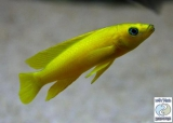 Neolamprologus Leleupi Orange Kabogo photo