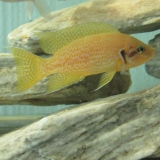 Neolamprologus Pulcher Kamakonde Yellow photo