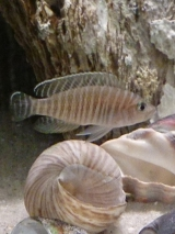 Neolamprologus Similis photo