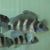 Neolamprologus Tretocephalus photo