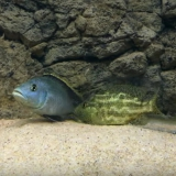 Nimbochromis Polystigma photo