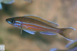 Paracyprichromis Nigripinnis Blue Neon photo