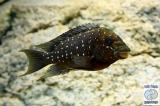 Petrochromis Trewevasae Moliro photo