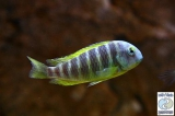 Tropheus Brichardi Katonga photo