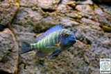 Tropheus Moorii Chaitika Blue Rainbow photo