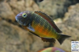 Tropheus Moorii Golden Chisanse photo