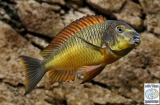 Tropheus Moorii Golden Kazumba photo