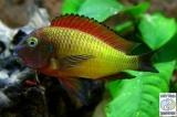 Tropheus Moorii Ilangi photo