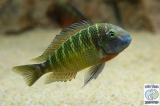 Tropheus Moorii Kalambo photo
