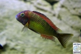 Tropheus Moorii Kambwimba Red Rainbow photo