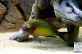 Tropheus Moorii Kasanga Red Rainbow photo