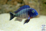 Tropheus Moorii Lufubu photo