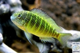 Tropheus Moorii Murago photo