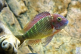 Tropheus Moorii Muzi Cherry Rainbow photo