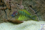 Tropheus Moorii Namansi photo