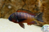Tropheus Moorii Ndole Red photo