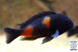 Tropheus Sp. Black Bulu Point photo