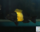 Tropheus Sp. Black Kiriza Kaiser photo