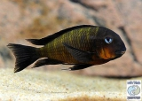 Tropheus Sp. Mpimbwe Orange Cheek Msalaba photo
