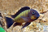 Tropheus Sp. Mpimbwe Yellow Cheek Korongwe photo